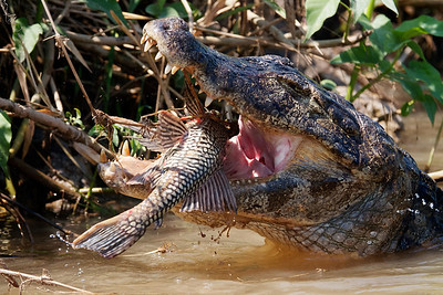 Caiman swallowing catfish