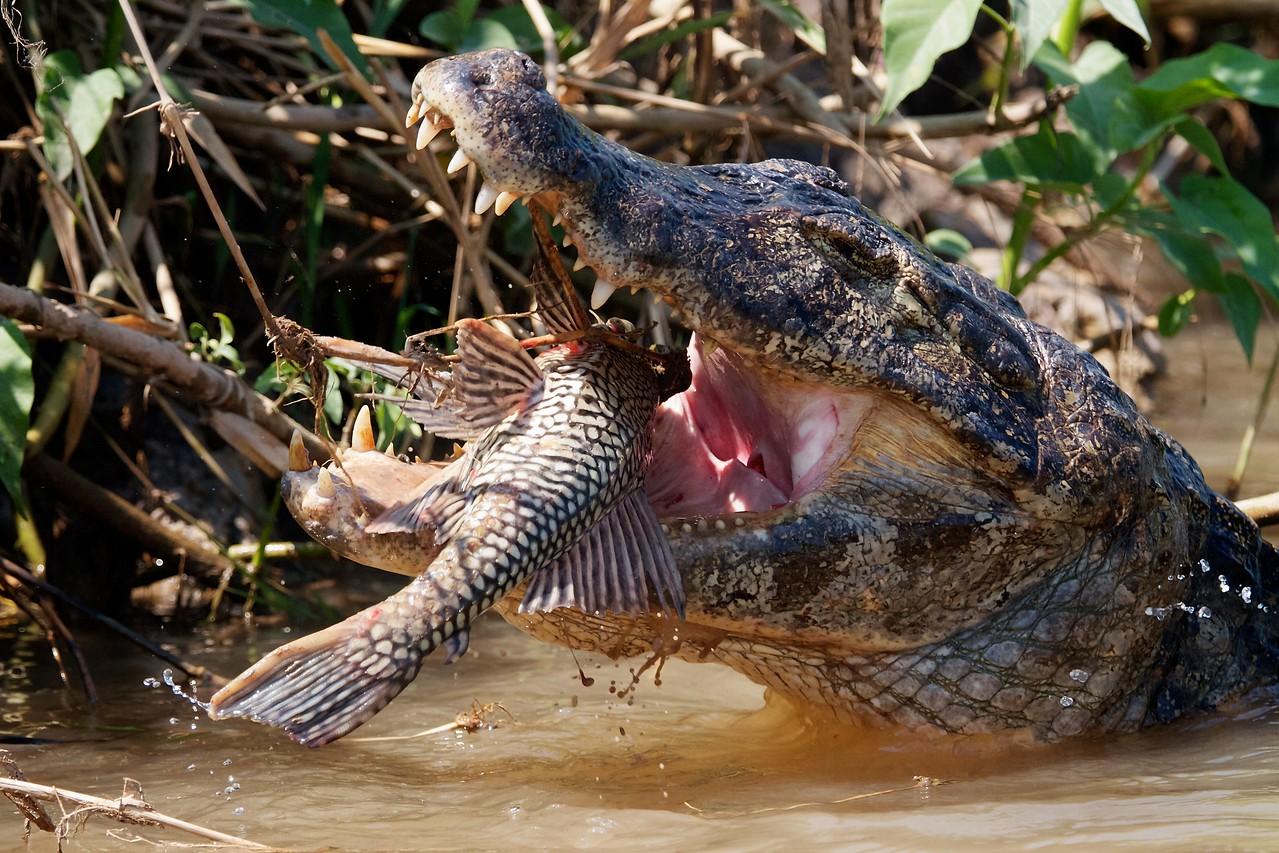 Caiman swallowing catfish