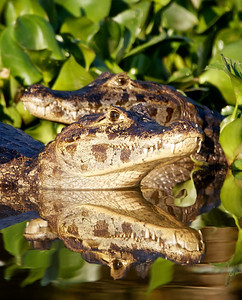 Caiman with reflection