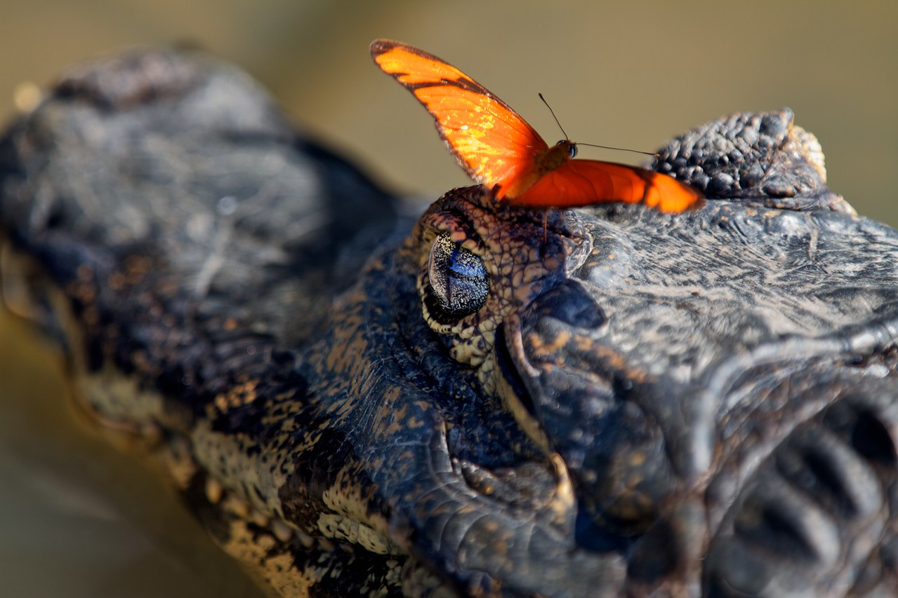 Caiman with butterfly