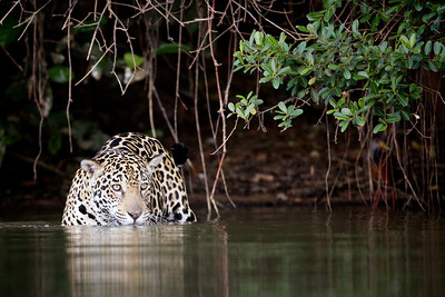 Jaguar (with Grey-necked Wood Rail in the background)