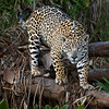 Pantanal, Brazil : Images captured when leading photo tours to the Pantanal, Brazil.