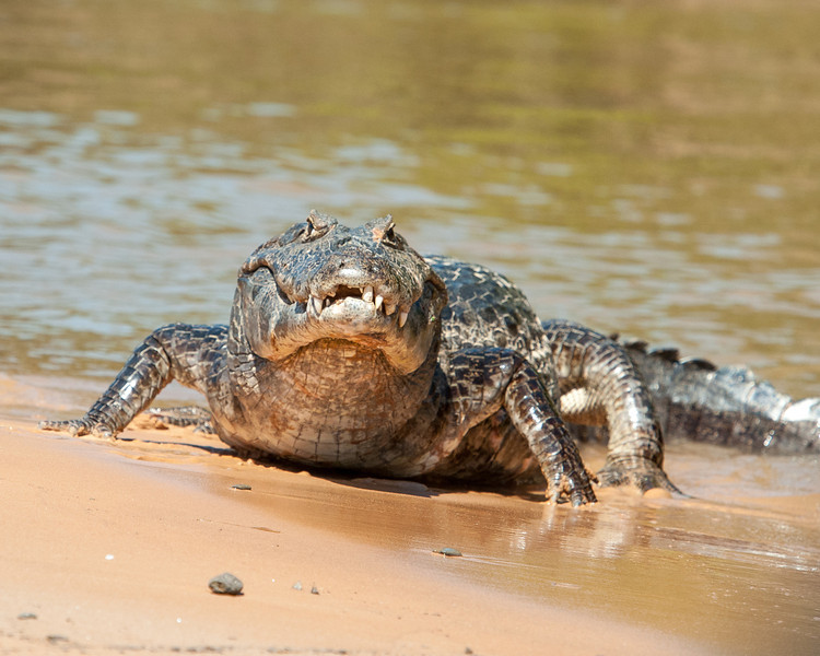 Caiman on the Cuiaba River