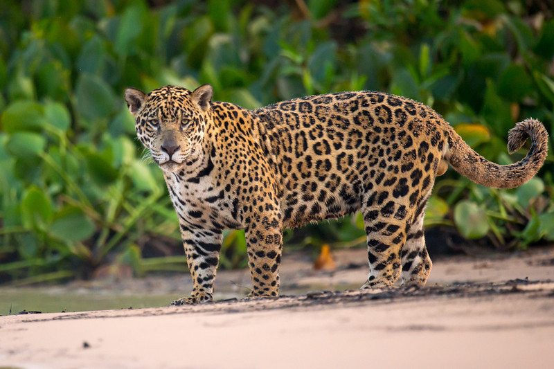 Jaguar on beach