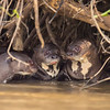 Giant Otter family