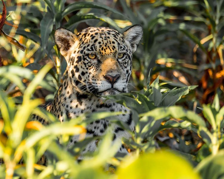 Jaguar in the shadows