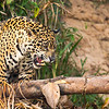 Jaguar, hunting