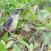 Saltator coerulescens<br /> Sabiá-gongá<br /> Grayish Saltator<br /> Pepitero gris - Havía tyvyta