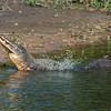 Caiman yacare<br /> Jacaré-do-pantanal<br /> Yacare caiman<br /> Yacaré