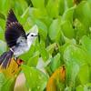 Fluvicola albiventer<br /> Lavadeira-de-cara-branca<br /> Black-backed Water-Tyrant<br />  Viudita blanca - Membei
