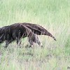 Myrmecophaga tridactyla<br /> Tamanduá-bandeira<br /> Giant anteater<br /> Oso hormiguero gigante - Tamanduá