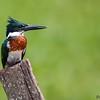 Chloroceryle amazona<br /> Martim-pescador-verde<br /> Amazon Kingfisher<br /> Martín pescador mediano - Javatî