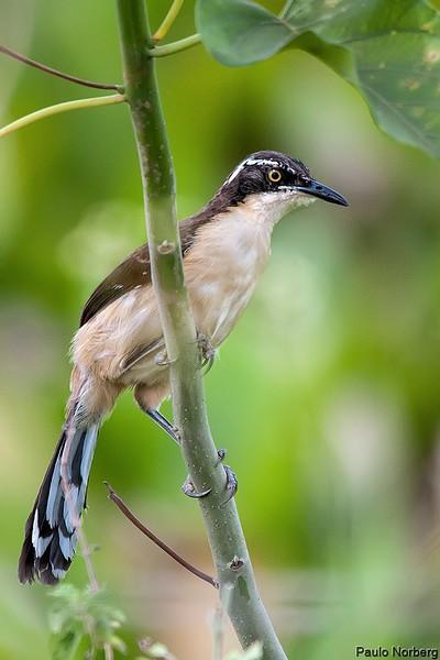 Donacobius atricapilla<br /> Japacanim imaturo<br /> Black-capped Donacobius immature<br /> Angu - Havía guasu