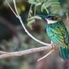 Galbula ruficauda<br /> Ariramba-de-cauda-ruiva imaturo<br /> Rufous-tailed Jacamar immature<br /> Yacamará - Mainumby guasu