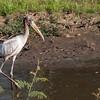 Mycteria americana<br /> Cabeça-seca imaturo<br /> Wood Stork immature<br /> Tuyuyú - Tujuju kangy