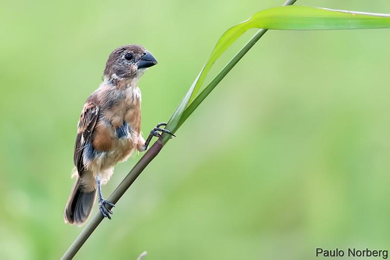 Sporophila collaris<br /> Coleiro-do-brejo imaturo<br /> Rusty-collared Seedeater immature<br /> Corbatita dominó - Guyra juru tu'î