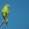 Brotogeris chiriri<br /> Periquito-de-encontro-amarelo<br /> Yellow-chevroned Parakeet<br /> Catita chiriri - Tu'î chyryry