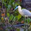 Pilherodius pileatus<br /> Garça-real<br /> Capped Heron<br /> Garza real - Hoko sa'yju