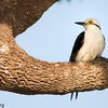 Melanerpes candidus<br /> Pica-pau-branco<br /> White Woodpecker<br /> Carpintero blanco - Ypekû ntere