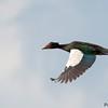Cairina moschata<br /> Pato-do-mato<br /> Muscovy Duck<br /> Bragado - Ype guasu