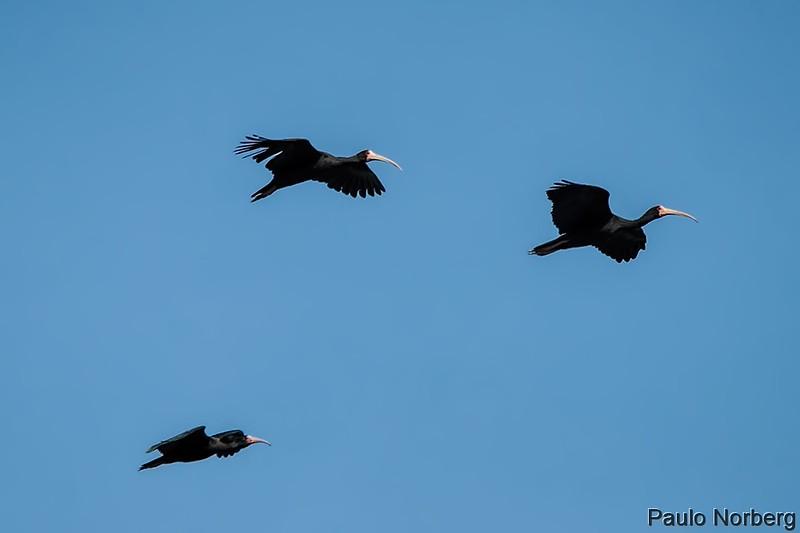 Phimosus infuscatus<br /> Tapicuru-de-cara-pelada<br /> Bare-faced Ibis<br /> Cuervillo cara pelada - Karâu'i rova pytâ