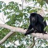 Alouatta caraya<br /> Bugio-do-pantanal<br /> Black Howler<br /> Carayá negro - Karadyá-hú