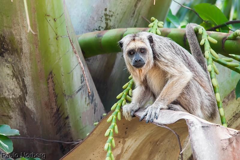 Alouatta caraya<br /> Bugio-do-pantanal fêmea<br /> Black Howler female<br /> Carayá negro - Karadyá-hú