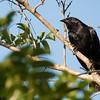 Gnorimopsar chopi<br /> Melro<br /> Chopi Blackbird<br /> Chopí - Chopî