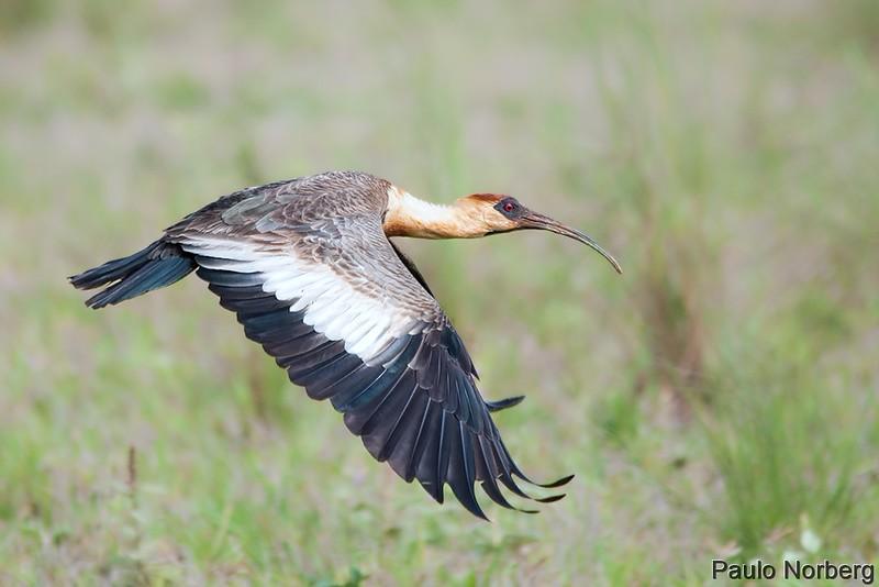 Theristicus caudatus<br /> Curicaca<br /> Buff-necked Ibis<br /> Bandurria - Kurukáu para