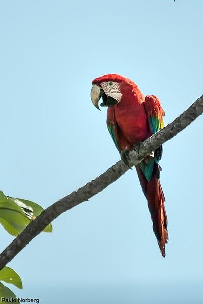 Ara chloropterus<br /> Arara-vermelha-grande<br /> Red-and-green Macaw<br /> Papagayo rojo - Gua'a pytâ