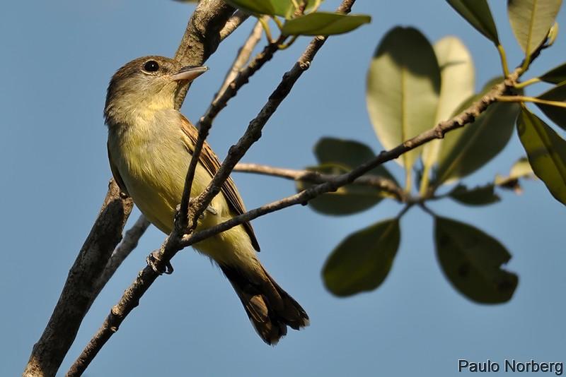 Pachyramphus polychopterus<br /> Caneleiro-preto fêmea<br /> White-winged Becard female<br /> Anambé negro - Anambe hû