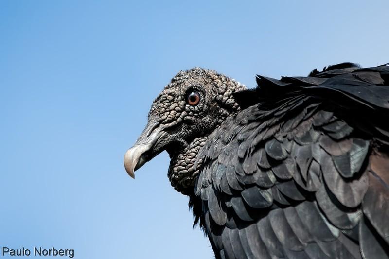 Coragyps atratus<br /> Urubu-de-cabeça-preta<br /> Black Vulture<br /> Cuervo negro - Yyvu hû