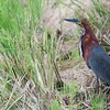 Tigrisoma lineatum<br /> Socó-boi<br /> Rufescent Tiger-Heron<br /> Hocó colorado - Hoko pytâ