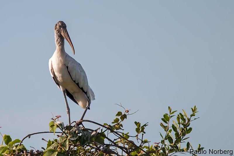 Mycteria americana<br /> Cabeça-seca<br /> Wood Stork<br /> Tuyuyú - Tujuju kangy