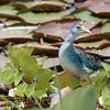 Porphyrio flavirostris<br /> Frango-d'água-azul-pequeno<br /> Azure Gallinule<br /> Polla celeste - Ñahana sa'yju