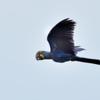 Anodorhynchus hyacinthinus<br /> Arara-azul-grande<br /> Hyacinth Macaw<br /> Papagayo azul - Gua'a hovy