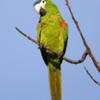 Diopsittaca nobilis<br /> Maracanã-pequena<br /> Red-shouldered Macaw<br /> Guacamayo noble