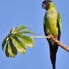 Aratinga nenday<br /> Periquito-de-cabeça-preta<br /> Nanday Parakeet<br /> Nanday - Ñanday