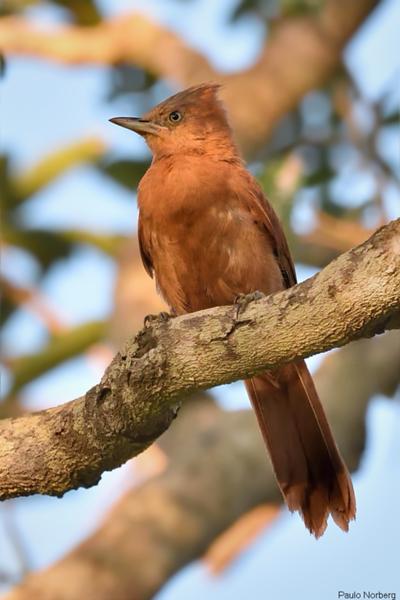 Pseudoseisura unirufa<br /> Casaca-de-couro-de crista-cinza<br /> Rufous Cacholote<br /> Caserote colorado - Sorototo