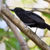 Cercomacra melanaria<br /> Chororó-do-pantanal<br /> Mato Grosso Antbird<br /> Batará - Mbatara hû