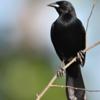Agelasticus cyanopus<br /> Carretão<br /> Unicolored Blackbird<br /> Varillero negro - Chopî estero