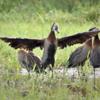 Dendrocygna viduata<br /> Irerê<br /> White-faced Whistling-Duck<br /> Pato silbón cara blanca - Ype suiriri