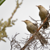 Campylorhynchus turdinus<br /> Catatau<br /> Thrush-like Wren<br /> Ratona grande - Katatáu