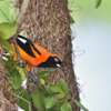 Icterus croconotus<br /> João-pinto<br /> Orange-backed Troupial<br /> Matico - Choe