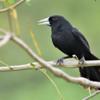 Procacicus solitarius<br /> Iraúna-de-bico-branco<br /> Solitary Black Cacique<br /> Boyero negro - Guyraûño