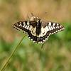 Swallowtail - Olympus E3, Zuiko 70-300mm, 1/500 sec at f7.1, ISO 200