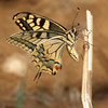 Swallowtail - Olympus E3, Sigma 600mm mirror, 1/500 sec at f8, ISO 400