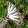 Scarce Swallowtail - Olympus E3, Zuiko 12-60mm, 1/160 sec at f16, ISO 320