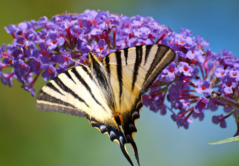 Scarce Swallowtail - Olympus E3, Zuiko 70-300mm, 1/500 sec at f6.3, ISO 200