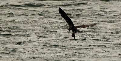 Eagle flies away with the Coot.